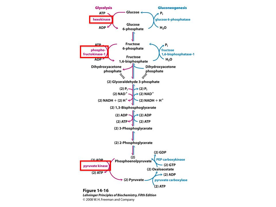 FIGURE 14-16 Opposing pathways of glycolysis and gluconeogenesis in rat liver. The reactions of glycolysis are on the left side, in red; the opposing pathway of gluconeogenesis is on the right, in blue. The major sites of regulation of gluconeogenesis shown here are discussed later in this chapter, and in detail in Chapter 15. Figure 14-19 illustrates an alternative route for oxaloacetate produced in mitochondria.
