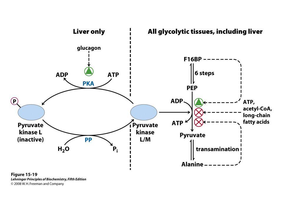 FIGURE 15-19 Regulation of pyruvate kinase