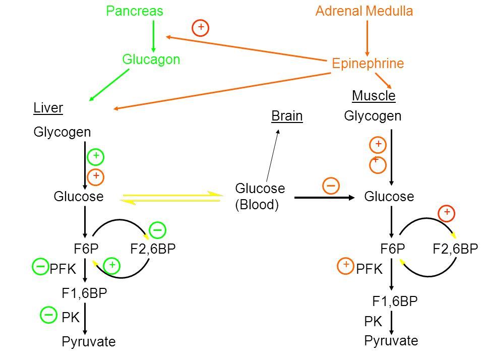 Pancreas Adrenal Medulla Glucagon Epinephrine Muscle Liver Brain