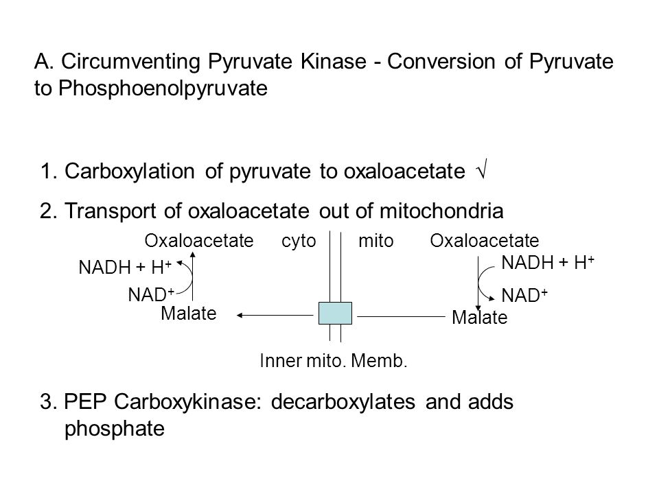 Carboxylation of pyruvate to oxaloacetate √