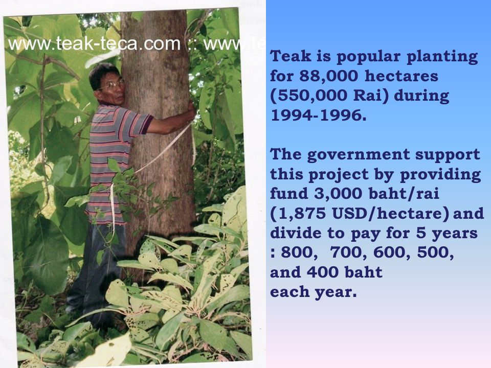 Teak is popular planting for 88,000 hectares (550,000 Rai) during 1994-1996.