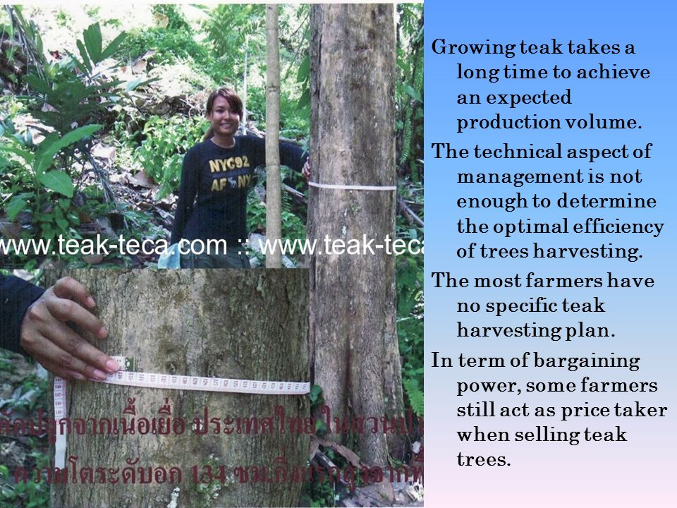 Growing teak takes a long time to achieve an expected production volume.