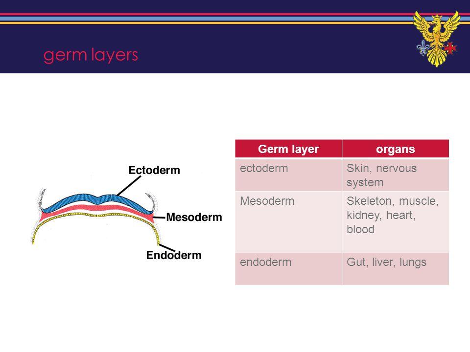 germ layers Germ layer organs ectoderm Skin, nervous system Mesoderm