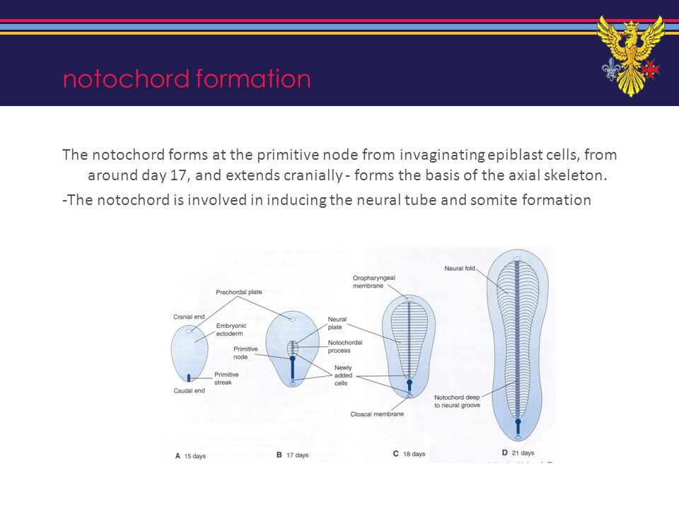notochord formation