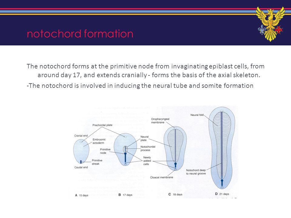 notochord formation