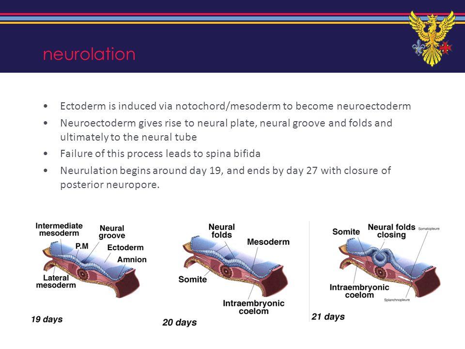 neurolation Ectoderm is induced via notochord/mesoderm to become neuroectoderm.