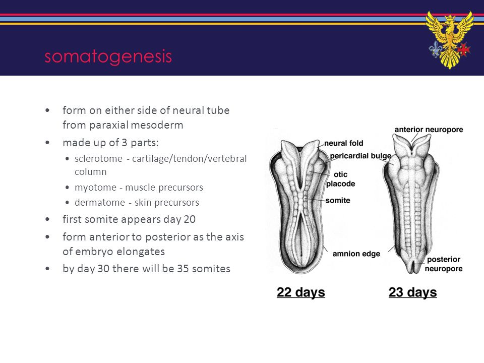 somatogenesis form on either side of neural tube from paraxial mesoderm. made up of 3 parts: sclerotome - cartilage/tendon/vertebral column.