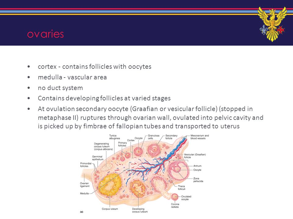 ovaries cortex - contains follicles with oocytes