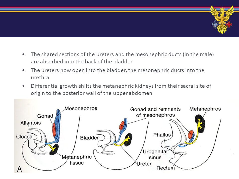 The shared sections of the ureters and the mesonephric ducts (in the male) are absorbed into the back of the bladder
