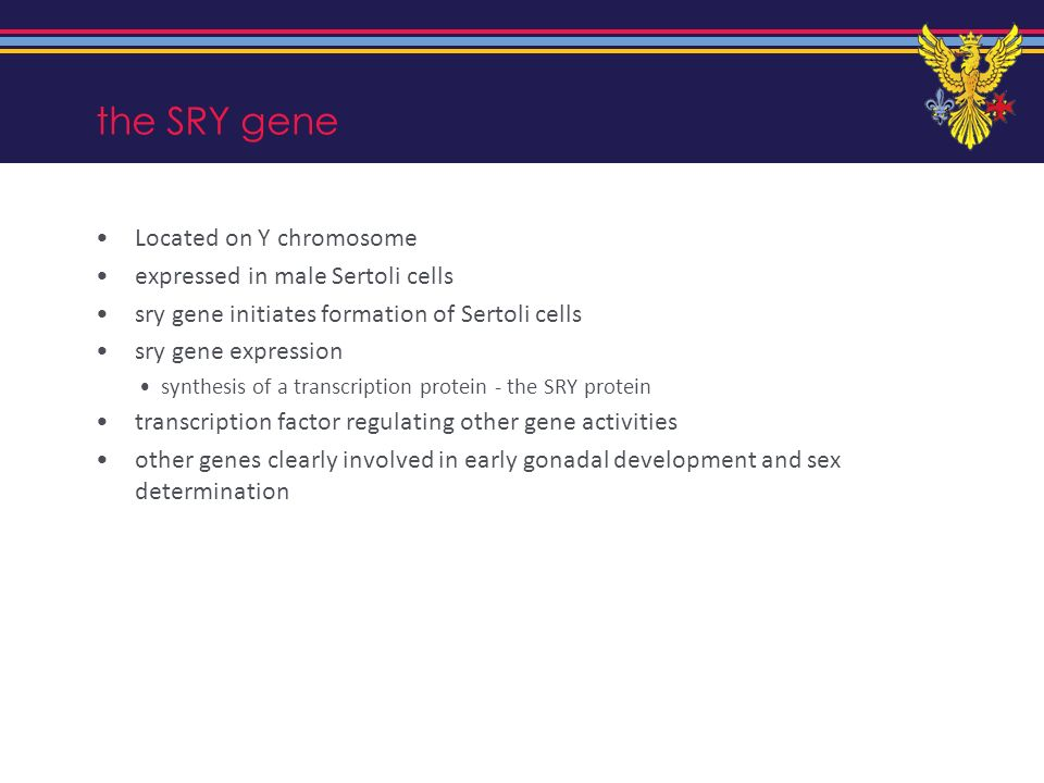 the SRY gene Located on Y chromosome expressed in male Sertoli cells