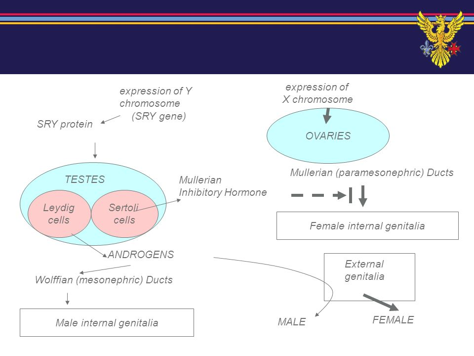 ADRENOGENITAL SYNDROME = EXCESS ANDROGENS IN GENETIC FEMALE FETUS