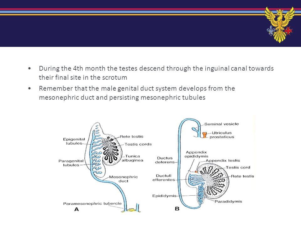 During the 4th month the testes descend through the inguinal canal towards their final site in the scrotum
