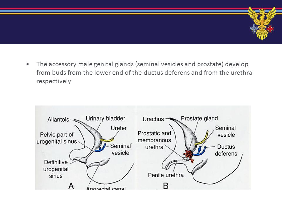 The accessory male genital glands (seminal vesicles and prostate) develop from buds from the lower end of the ductus deferens and from the urethra respectively