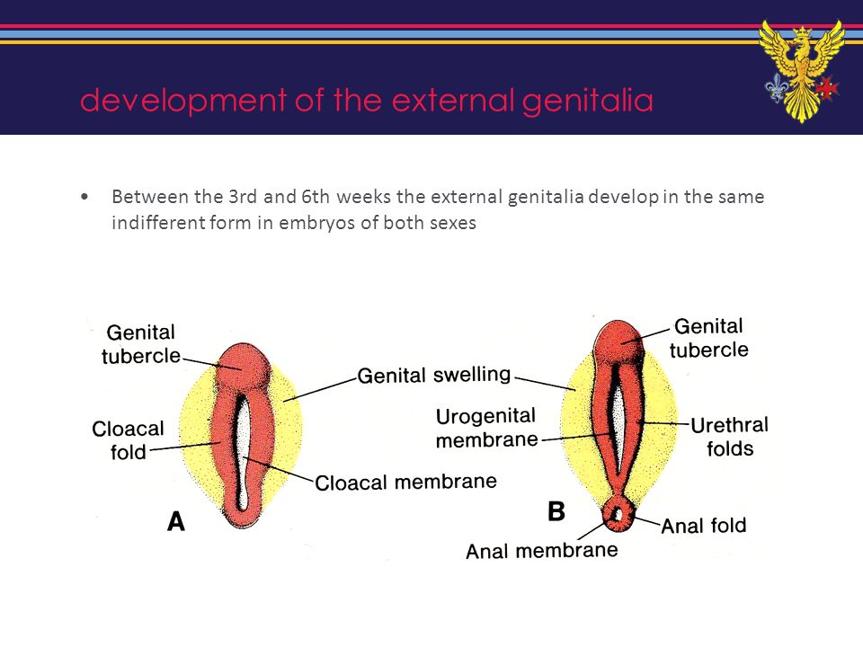 development of the external genitalia