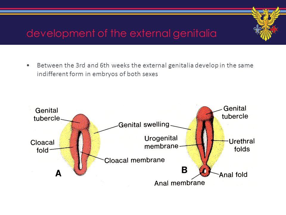 development of the external genitalia
