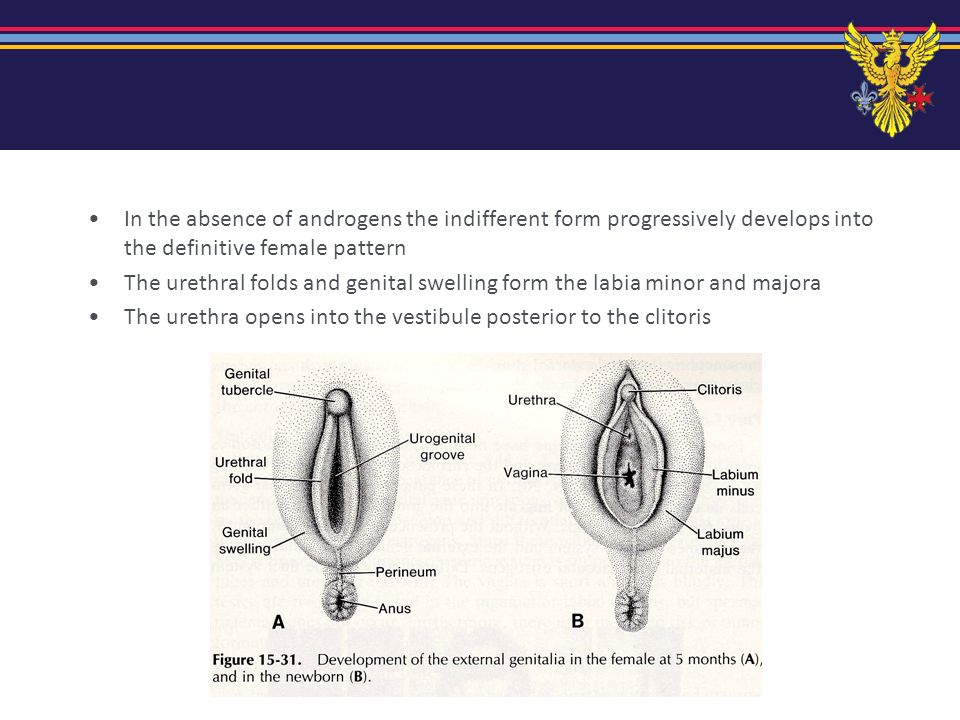 In the absence of androgens the indifferent form progressively develops into the definitive female pattern