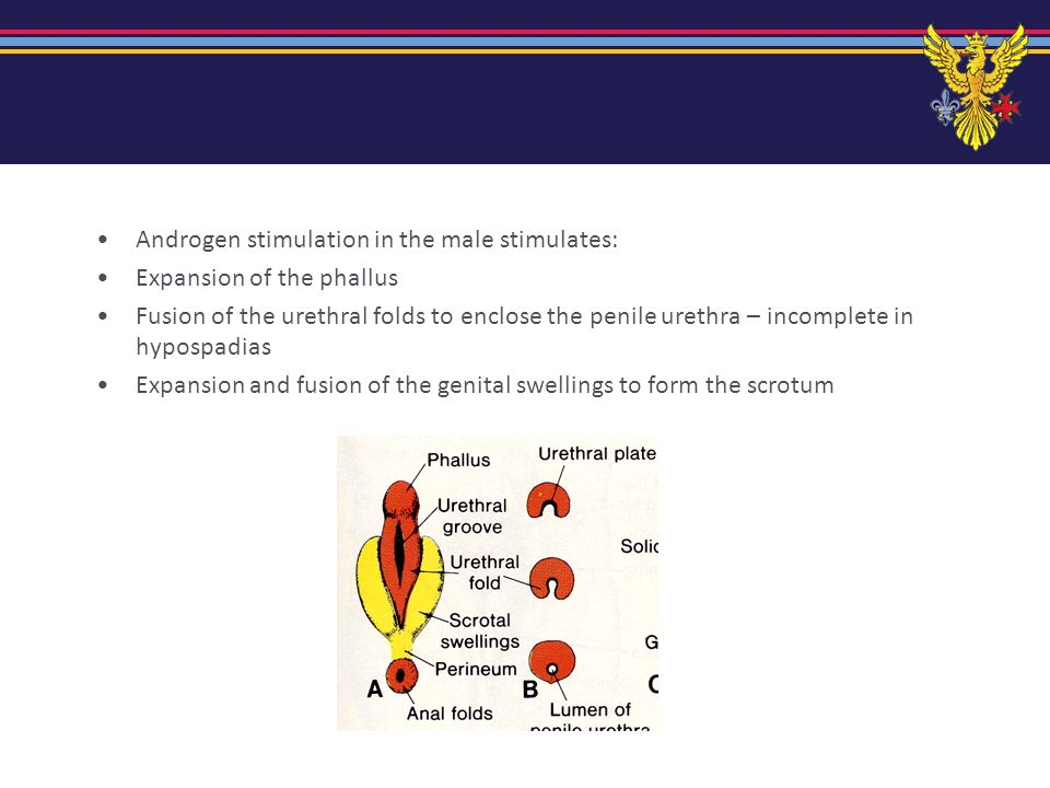 Androgen stimulation in the male stimulates: