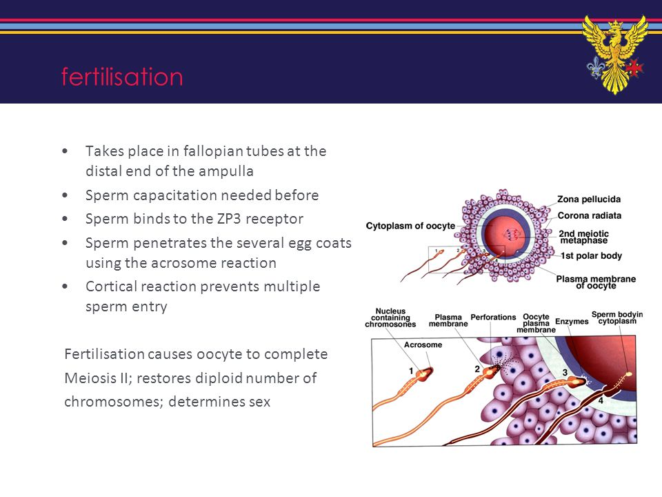 fertilisation Takes place in fallopian tubes at the distal end of the ampulla. Sperm capacitation needed before.