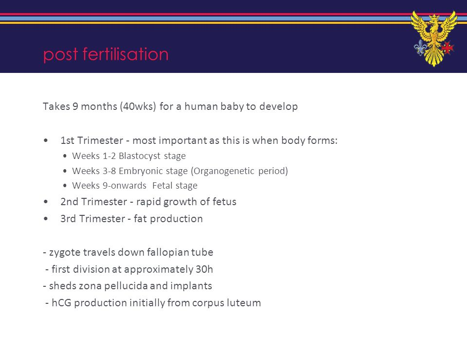 post fertilisation Takes 9 months (40wks) for a human baby to develop
