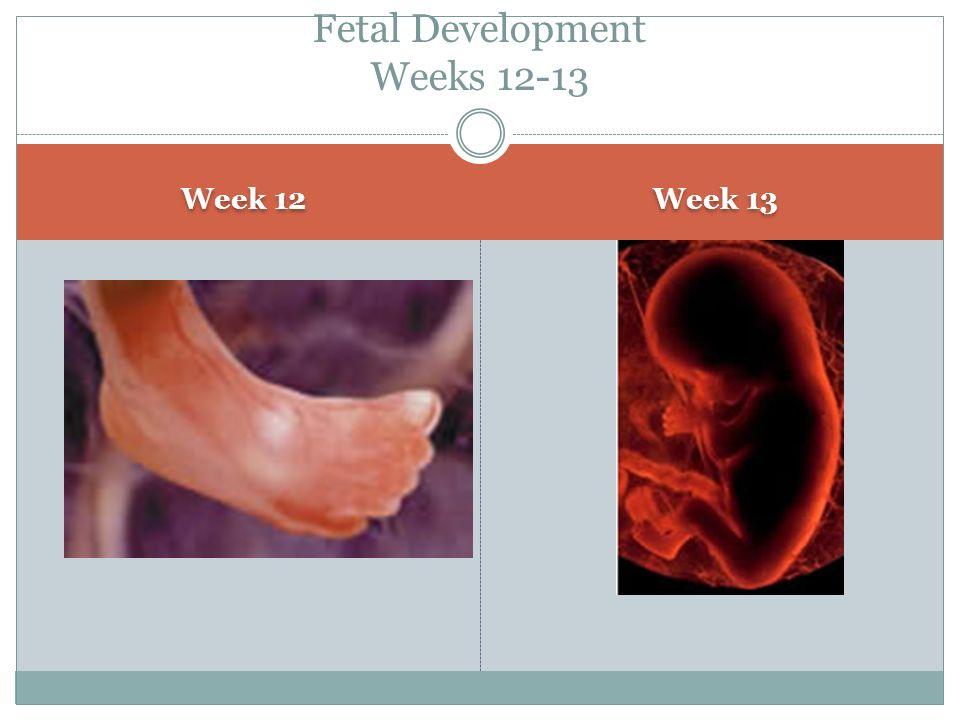 Fetal Development Weeks 12-13