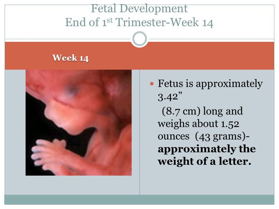 Fetal Development End of 1st Trimester-Week 14