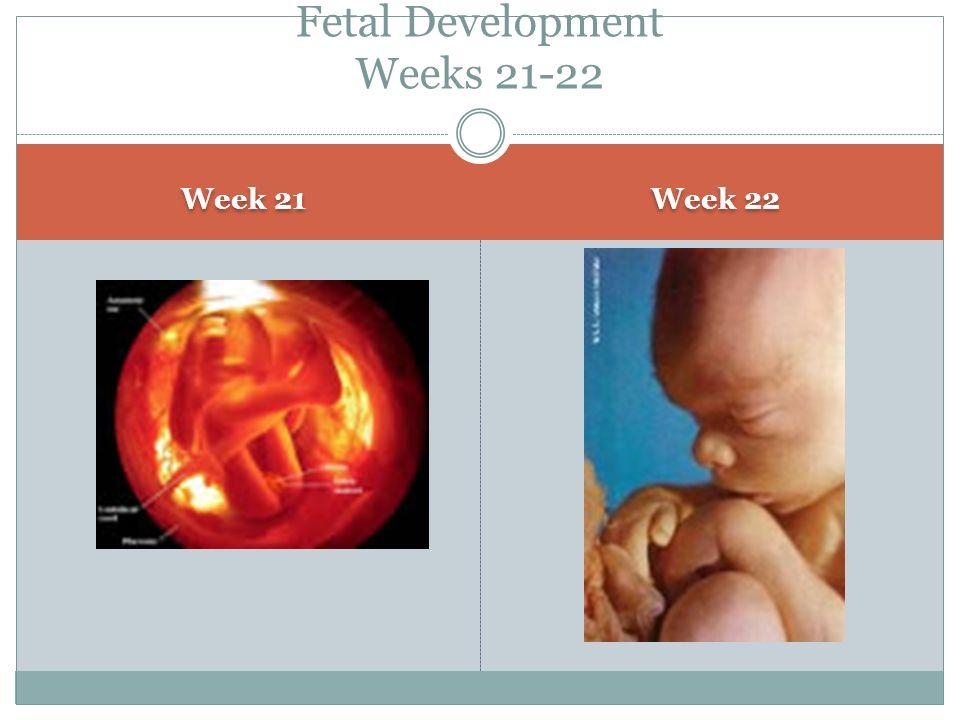 Fetal Development Weeks 21-22