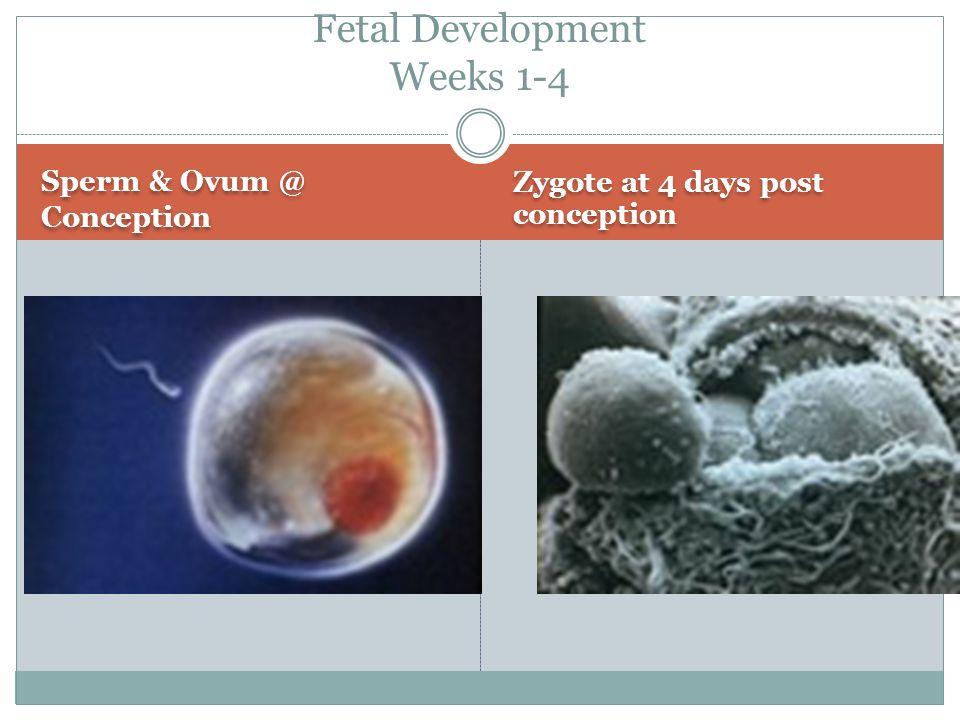 Fetal Development Weeks 1-4