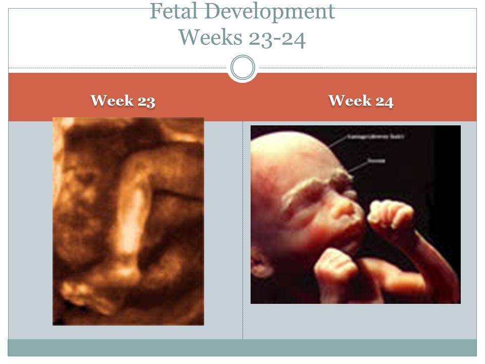 Fetal Development Weeks 23-24