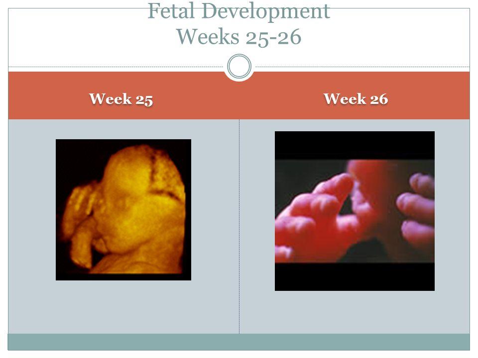 Fetal Development Weeks 25-26