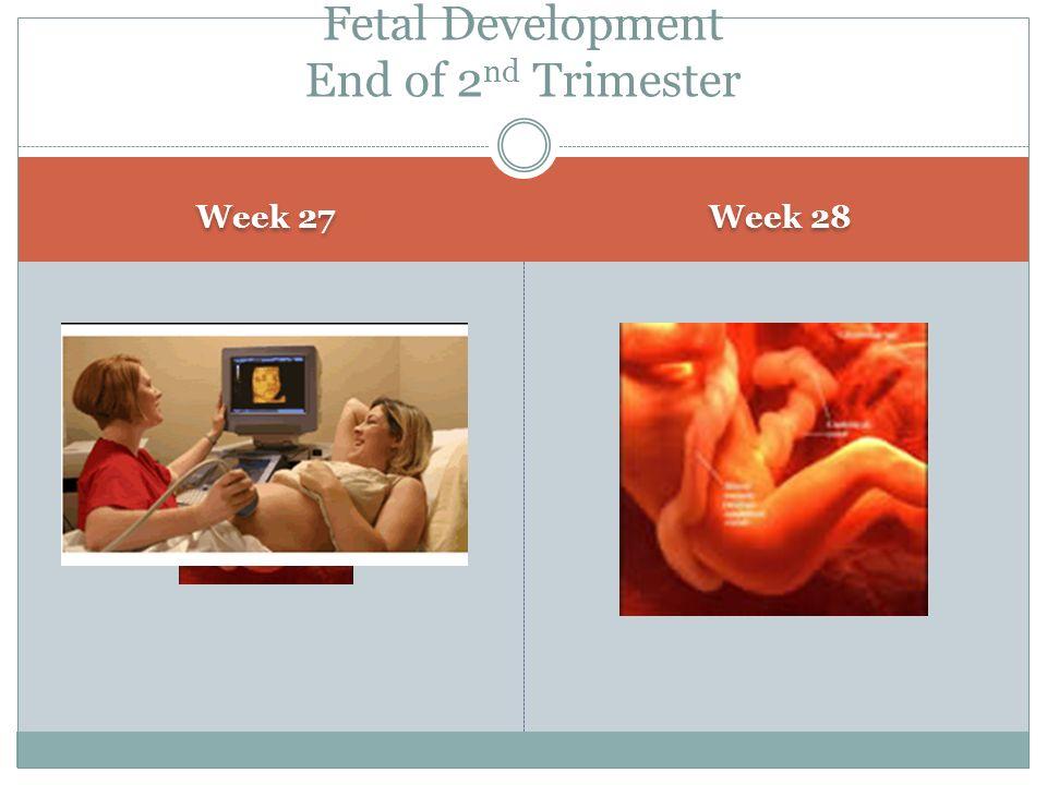 Fetal Development End of 2nd Trimester