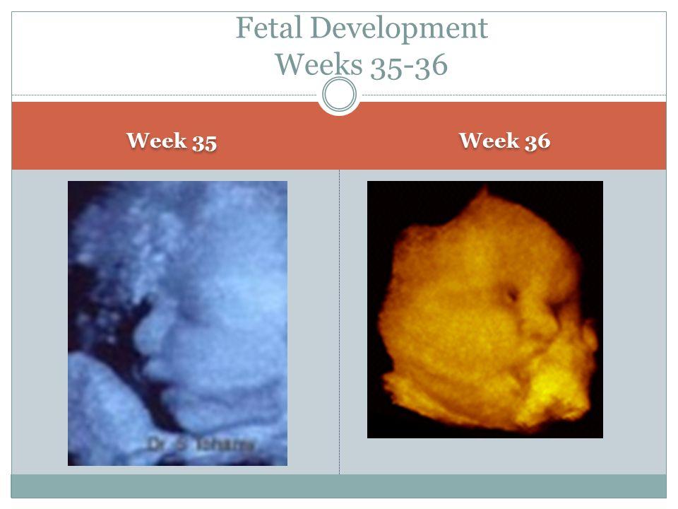 Fetal Development Weeks 35-36