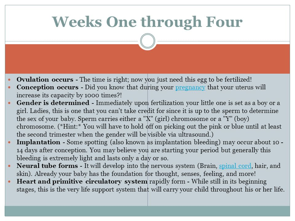 Weeks One through FourOvulation occurs - The time is right; now you just need this egg to be fertilized!