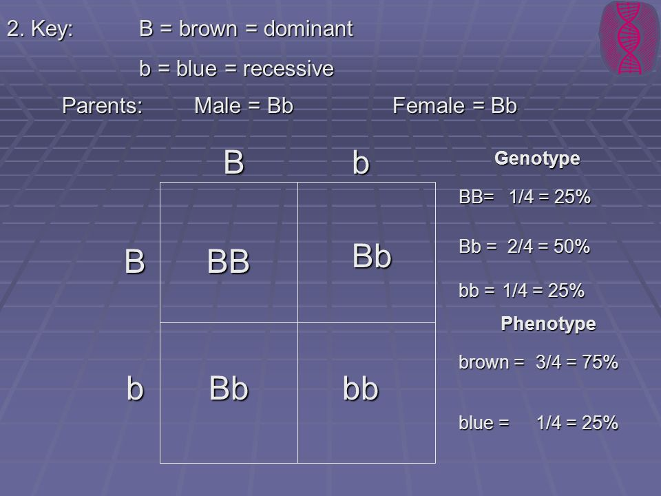 B b Bb B BB b Bb bb 2. Key: B = brown = dominant b = blue = recessive