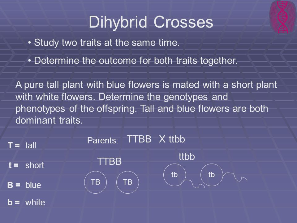 Dihybrid Crosses Study two traits at the same time.