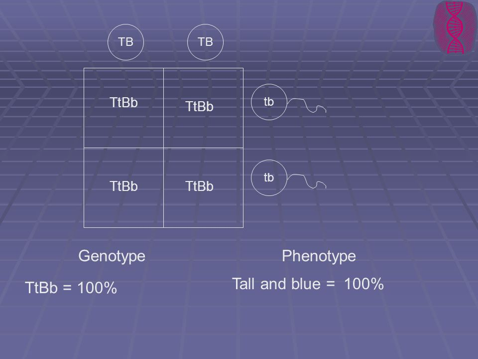 Genotype Phenotype Tall and blue = 100% TtBb = 100% TtBb TtBb TtBb