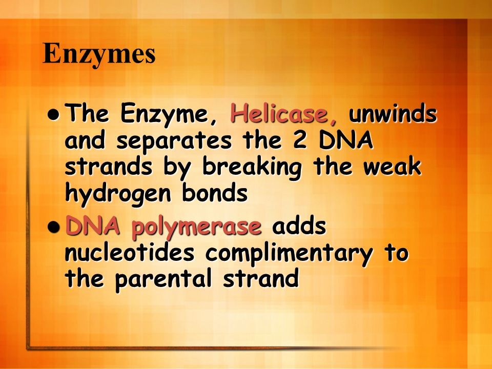 Enzymes The Enzyme, Helicase, unwinds and separates the 2 DNA strands by breaking the weak hydrogen bonds.