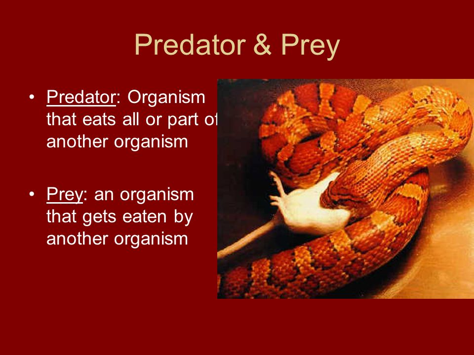 Predator & Prey Predator: Organism that eats all or part of another organism.