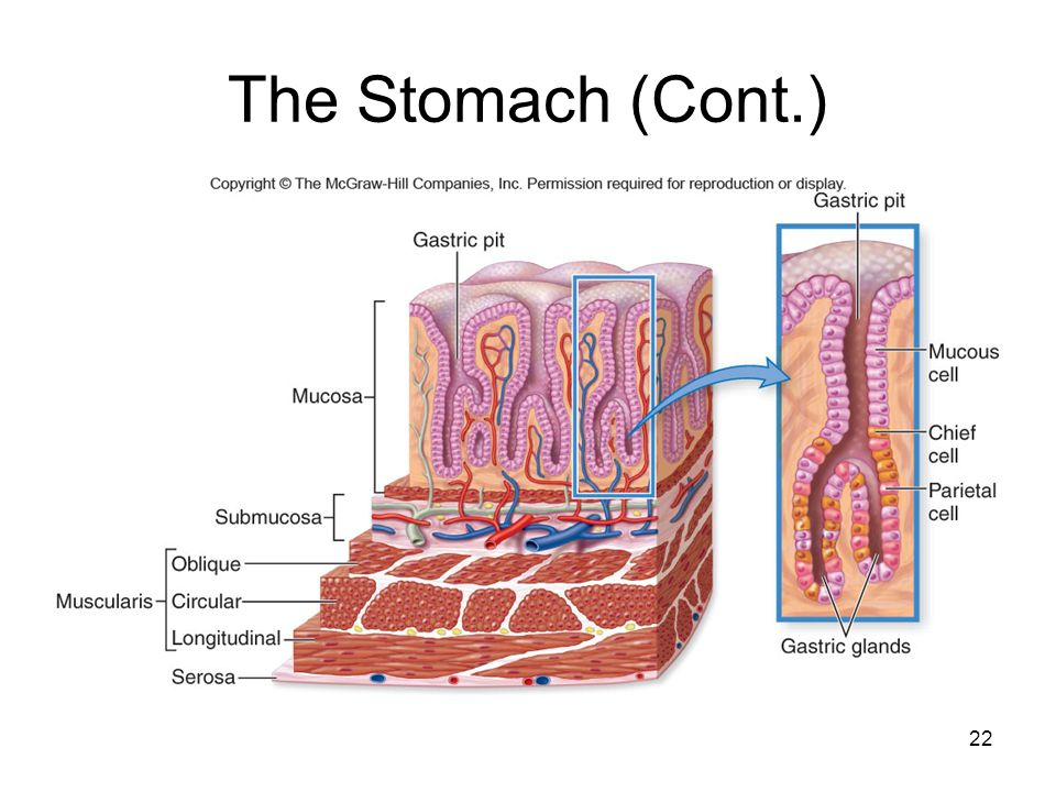 The Stomach (Cont.)