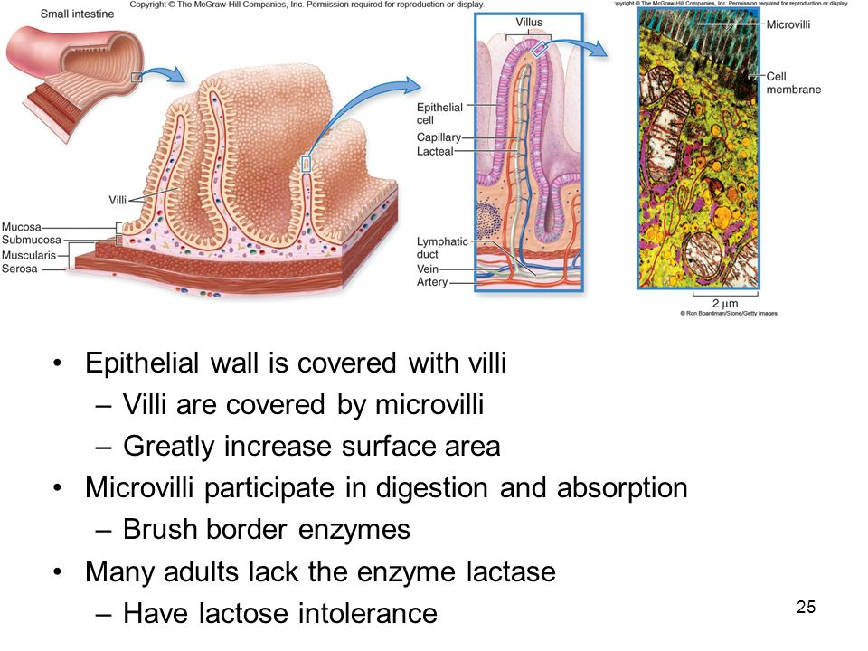 Epithelial wall is covered with villi