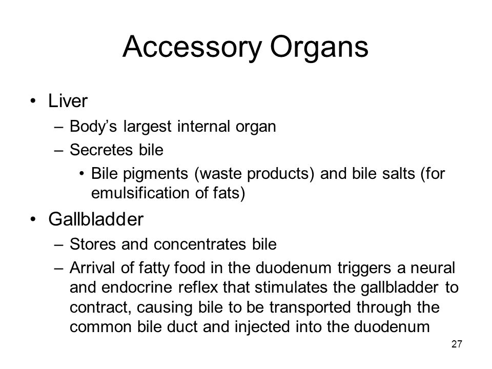 Accessory Organs Liver Gallbladder Body's largest internal organ