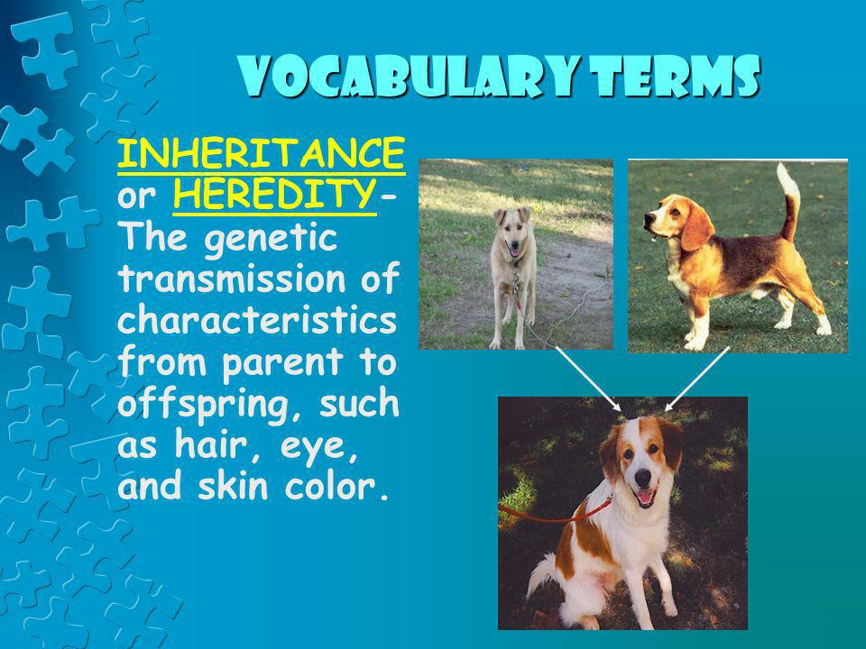 vocabulary termsINHERITANCE or HEREDITY- The genetic transmission of characteristics from parent to offspring, such as hair, eye, and skin color.