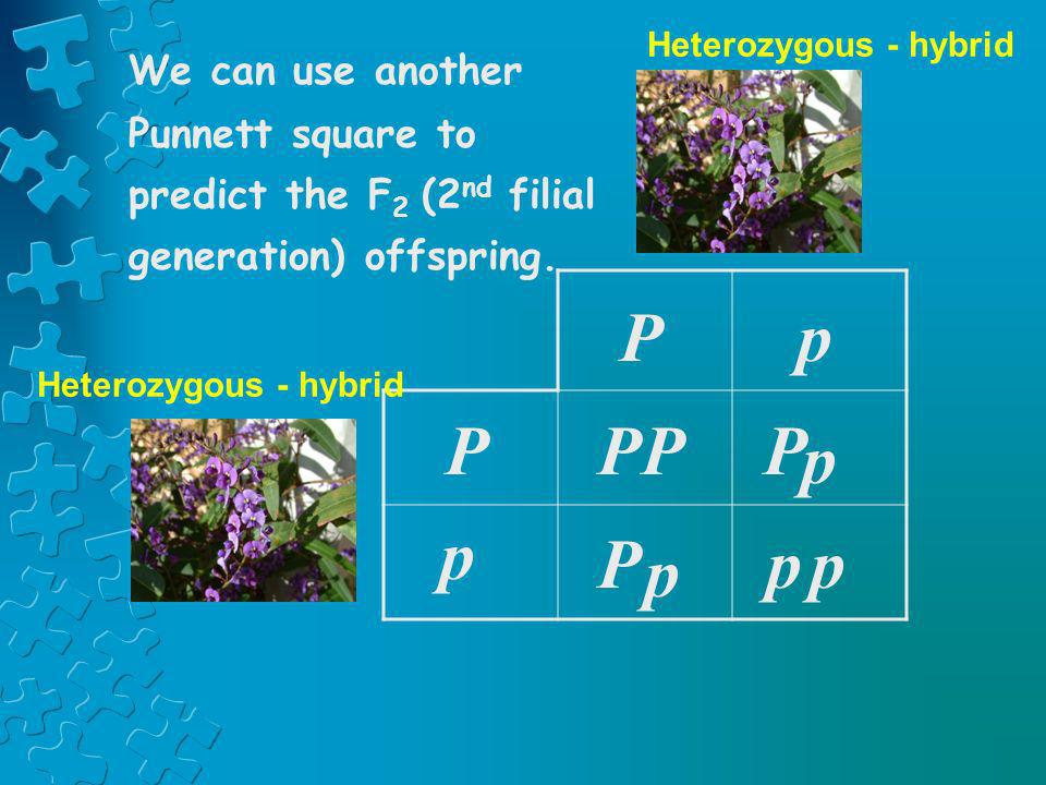 Heterozygous - hybridWe can use another Punnett square to predict the F2 (2nd filial generation) offspring.