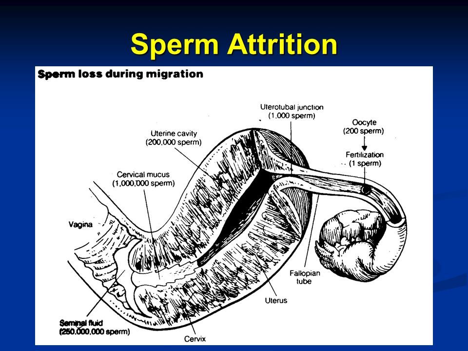 Sperm Attrition