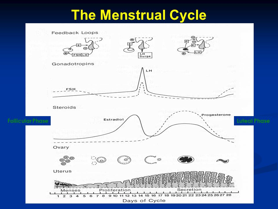 The Menstrual Cycle Follicular Phase Luteal Phase