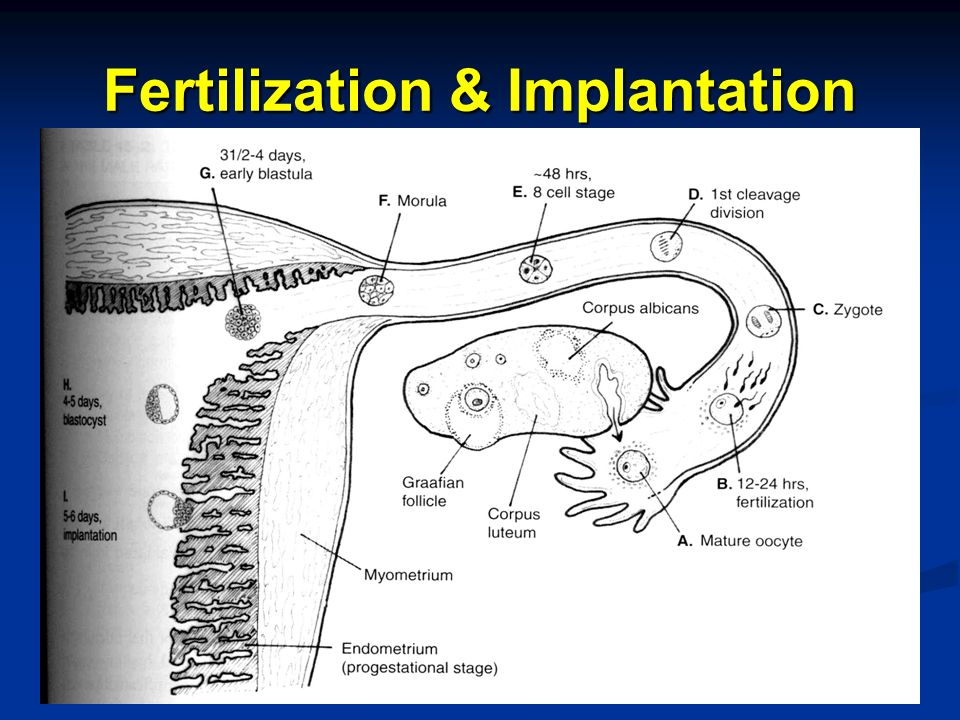 Fertilization & Implantation