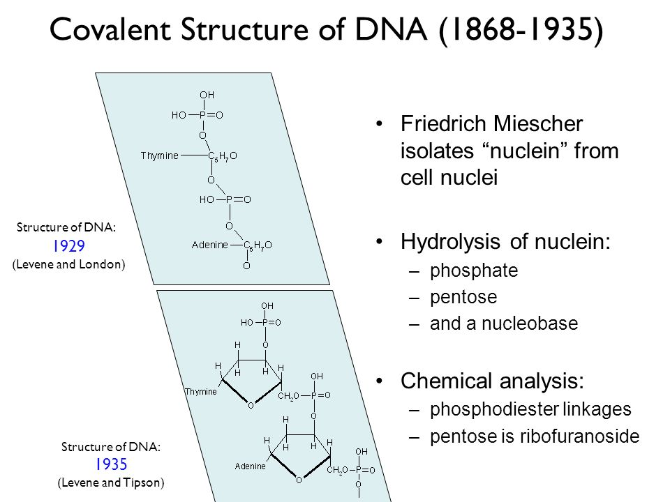 Covalent Structure of DNA (1868-1935)