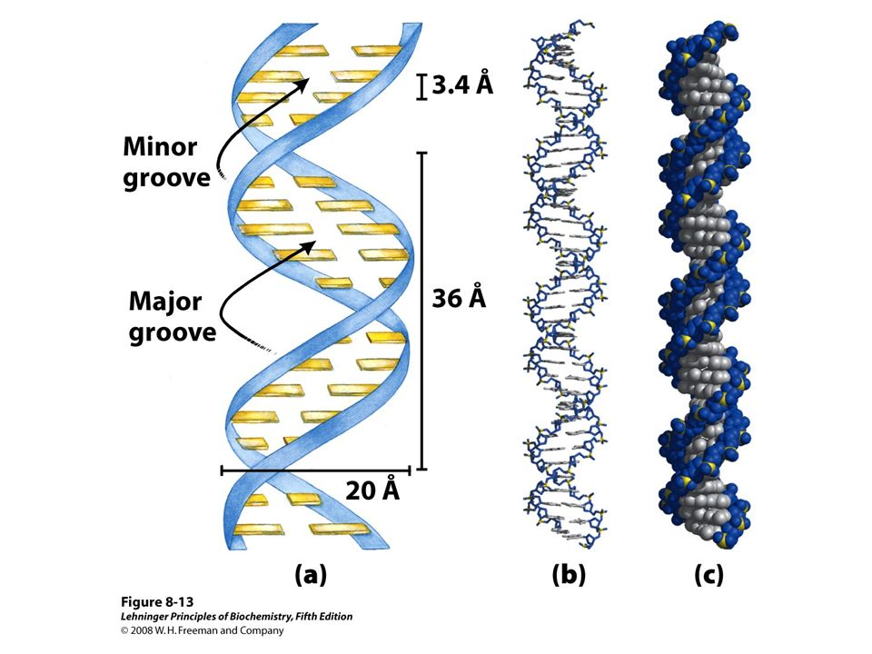 FIGURE 8-13 Watson-Crick model for the structure of DNA