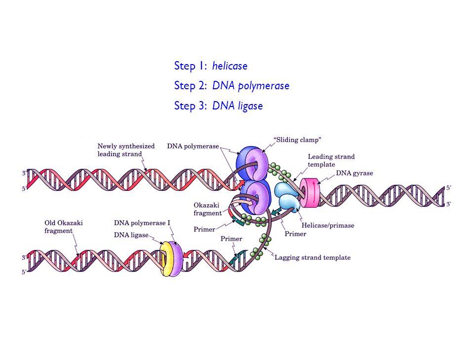 Step 1: helicase Step 2: DNA polymerase Step 3: DNA ligase