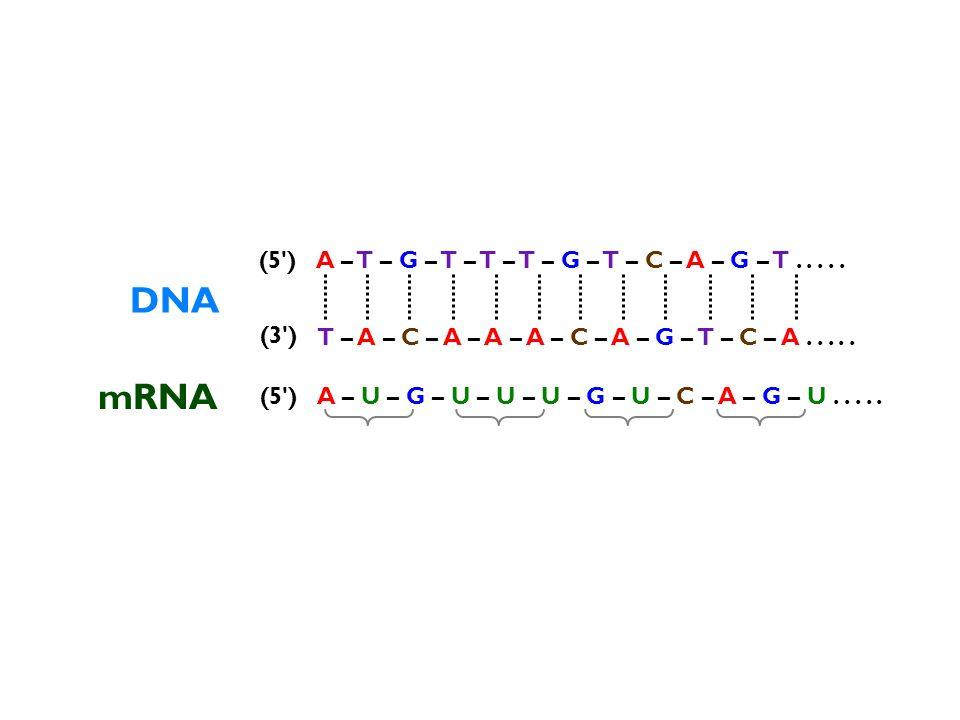 DNA mRNA (5 ) A – T – G – T – T – T – G – T – C – A – G – T . . . . .