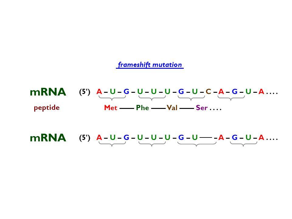 mRNA mRNA frameshift mutation (5 )